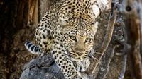 42 leopard e m1 b180398 edit