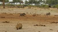 42 warzenschweine crw 5478