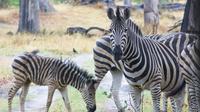 42 zebra mit fohlen crw 5790