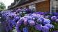 19 hortensien dsc01961