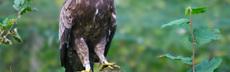 Pommernadler