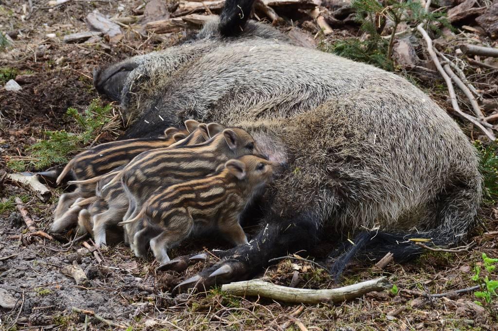 Wild boar 1721238 1920